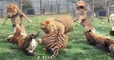 lion attacked tiger in viral video