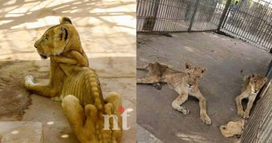 Lions are starving to death in a Sudan par-SudanAnimalRescue