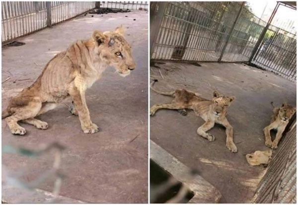 Sudan lion Sudan Animal Rescue