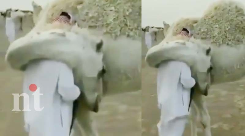 camel affection shows love its owner