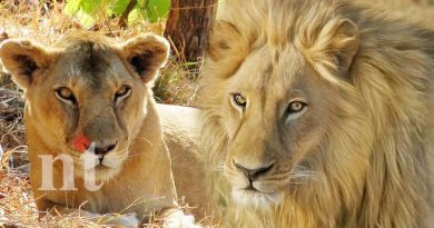 two lions in van vihar national park