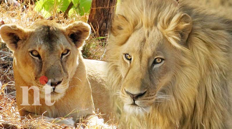 two lions in van vihar national park
