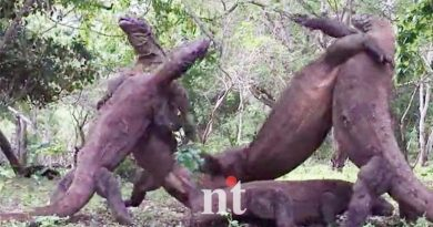 Four Komodo dragons stand and fight at 8ft tall